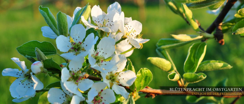 Im Prinz Obstgarten: Birnenblüten in Nahaufnahme