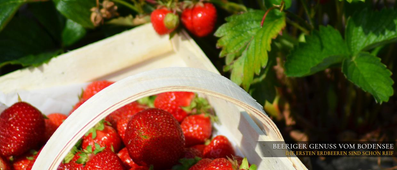 Ein Holzkörbchen voll mit frisch gepflückten Erdbeeren
