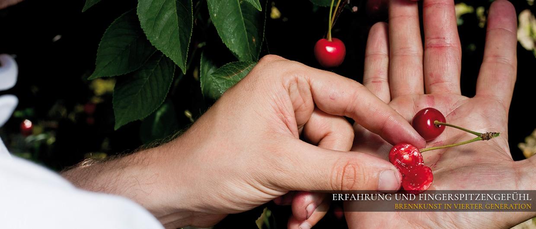 Hand mit aufgeschnittener Kirsche: Fruchtexperte prüft das Fruchtfleisch einer Kirsche