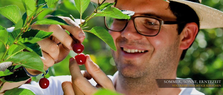Maximilian Prinz begutachtet die Kirschen kurz vor der Ernte