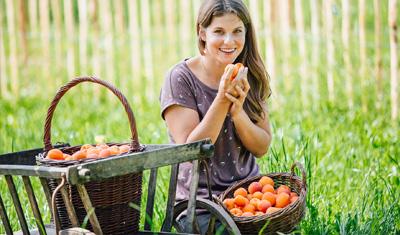 Marillenernte – Fruchtexperten im Einsatz