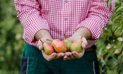Prinz Fruchtexperte präsentiert handgepflückte Williams-Birnen