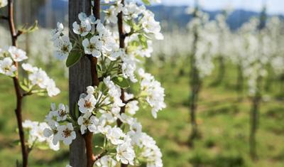 Blütezeit im Obstgarten