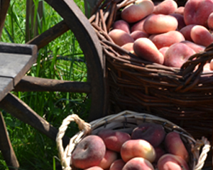 Frisch geerntete Weinbergpfirsiche in Weidenkörben
